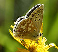 ChalkHill Blue female or Eschers Blue (16026627188).jpg