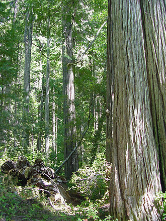 Chamaecyparis lawsoniana - Old-growth stand of C. lawsoniana in California