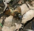 Cheilosia sp. (male) - Flickr - S. Rae.jpg