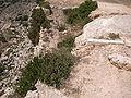 Cheirolophus crassifolius Malta Dingli Cliffs 05.jpg