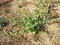 Chenopodium hybridum sl7.jpg