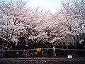 Cherry blossom near Zenpukuji river, Tokyo; July 2006 (08).jpg