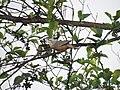 Chestnut-tailed Starling 001.jpg