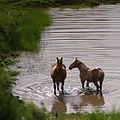 Chevaux se rafraichissant dans le lac Pavin en Auvergne.jpg