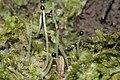 Chiloscyphus pallescens (a, 144724-474813) 1896.jpg
