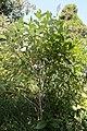 Chionanthus virginicus 18zz.jpg