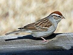 240px chipping sparrow (spizella passerina) rwd