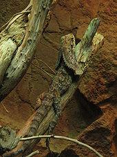 Frilled Lizard - Chlamydosaurus kingii - Details ...