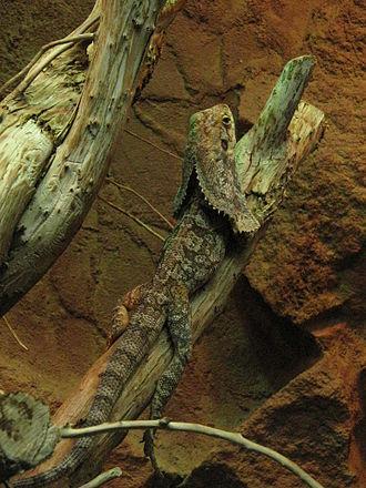 Chlamydosaurus - A frill-necked lizard in a reptile display