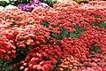Chrysanthemum x grandiflorum Foxy Marjorie 1zz.jpg