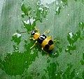 Chrysomelidae. Galerucinae Leaf beetle - Flickr - gailhampshire (1).jpg