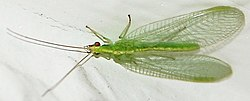 definition of neuroptera