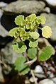 Chrysosplenium alternifolium (8336765985).jpg