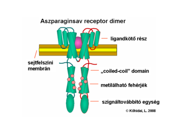 Domain structure of chemotaxis receptor for Asp