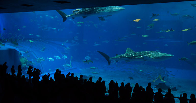 File:Churaumi Aquarium main tank 'Kuroshio Sea'.jpg