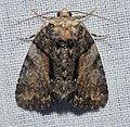 Chytonix palliatricula (14836288778).jpg