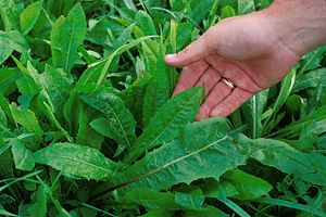 Chicory - Leaves unlobed and pointed