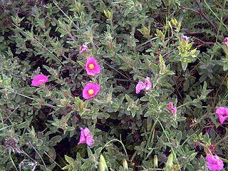 <i>Cistus crispus</i> Species of flowering plants in the rock rose family Cistaceae