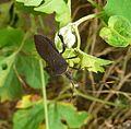 Citron Bug (Leptoglossus gonagra)^ Coreidae - Flickr - gailhampshire.jpg