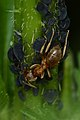 Citronella Ant (Lasius sp.) and Aphids (Aphididae) - Guelph, Ontario 01.jpg