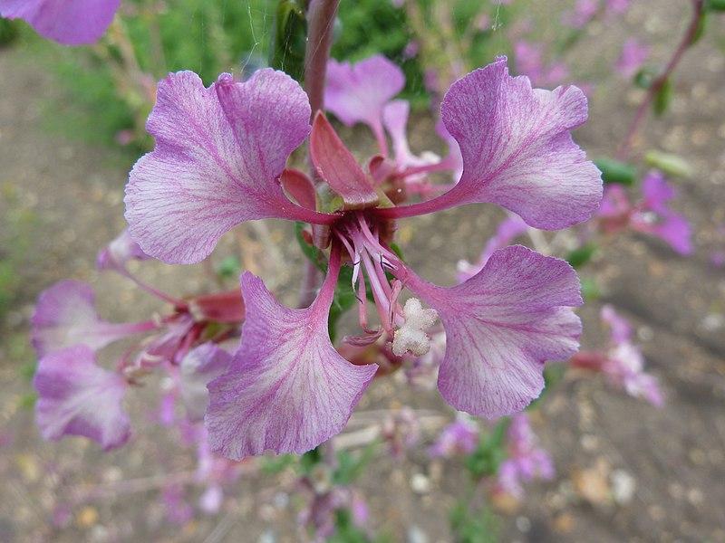 File Clarkia Amoena Godetia Onagraceae Flower Jpg Wikimedia Commons