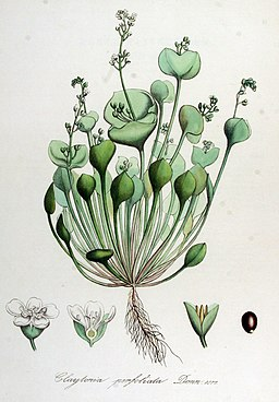 Claytonia perfoliata — Flora Batava — Volume v14