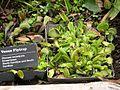 Climatron conservatory - Venus Flytrap (Dionaea muscipula) - Flickr - Jay Sturner.jpg