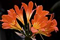 Clivia flower image.jpg