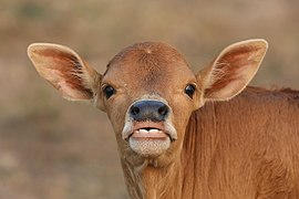 Close-up photograph of a calf's head looking at the viewer with pricked ears in Don Det Laos.jpg