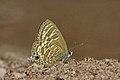 Close wing Basking of Nacaduba pactolus (C. Felder, 1860) – Large Four-Lineblue WLB DSC 8753.jpg