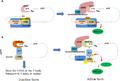 Closed-loop mRNA regulation.png