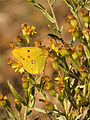 Clouded Yellow (15748438459).jpg