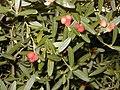 Cneorum tricoccon.jpg
