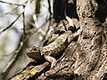 Coast Range Fence Lizard on tree.jpg