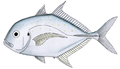 Coastal trevally.png
