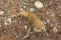 Coati at Marwell Wildlife 1.jpg