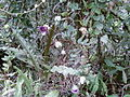 Cobaea scandens - Machu Pichu, Pérou 2.jpg
