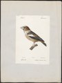Coccothraustes vulgaris - 1842-1848 - Print - Iconographia Zoologica - Special Collections University of Amsterdam - UBA01 IZ16000125.tif