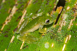 Cochranella pulverata Powdered glass frog.jpg