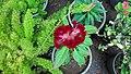 Cockscomb (Celosia cristata) flower 1.jpg