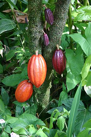 A cacao tree with fruit pods in various stages...