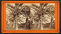 Coconut trees with fruit, from Robert N. Dennis collection of stereoscopic views.jpg