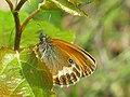 Coenonympha arcania - Pearly heath - Сенница аркания (26292106727).jpg