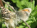 Coenonympha pamphilus - Small heath - Сенница обыкновенная (41120689912).jpg