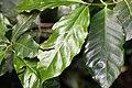 Coffea arabica 37zz.jpg