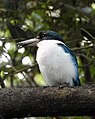 Collared Kingfisher Todiramphus chloris by Dr. Raju Kasambe DSCN0915 (43).jpg