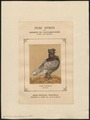 Columba domestica var. sticta - 1874- - Print - Iconographia Zoologica - Special Collections University of Amsterdam - UBA01 IZ18900181.tif