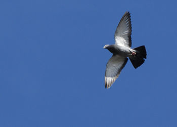 English: Columbidae - pigeon flying overhead