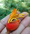 Colvillea racemosa-1-Ravi kiran-coimbatore-India.jpg