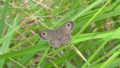 Common Fivering (Ypthima argus) upperside.png